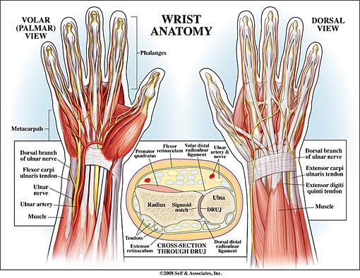 Wrist Anatomy 2